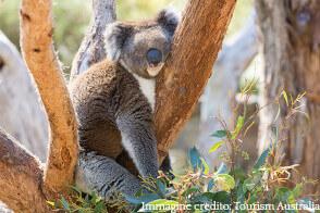 Contatta TecAustralia per sapere i dettagli di come pè potrai visitare i koalas