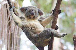 Ci auguriamo che tu possa rilassarti con i koala presto