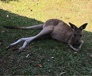 Visiterete lo zoo e il rifugio degli animali selvatici, vedrete da vicino i canguri i koala e i wombat