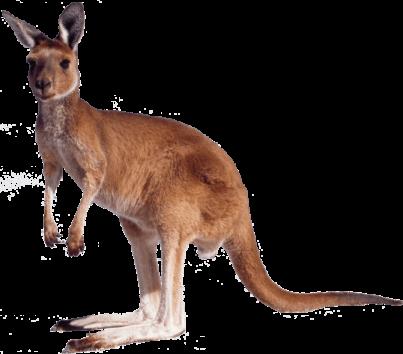 404 kangaroo